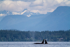 The Orcas Welcome (Anne McKinnell) Tags: ocean pacific britishcolumbia whale orca killerwhale cortesisland discoverypassagepassage