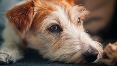 Slow day for a Jack Russell Terrier (Subdive) Tags: dog pet terrier jackrussell