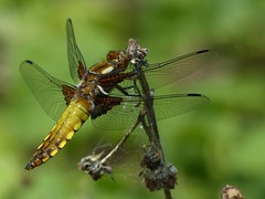Broad-Bodied Chaser (ukstormchaser (A.k.a The Bug Whisperer)) Tags: uk sunlight macro animal animals closeup way insect fly afternoon dragonflies dragonfly north may insects flies bucks chaser chasers broadbodied