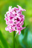 From the Garden 2015 (janeway1973) Tags: garden garten 2015 flower plant blossoms blüte pflanze blume hyazinthe macro makro
