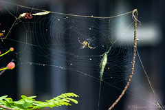 Tiny Spider (Kumaravel) Tags: india nature closeup spider nikon dof bokeh web tiny crop chennai kumar kumaravel d3100