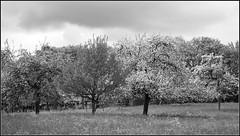 Obstbaumwiese (horidole ist im Urlaub) Tags: landscape landschaft schwarzwald blackforest baum heimat badenwrttemberg fortnoire obstbaumwiese berndsontheimer