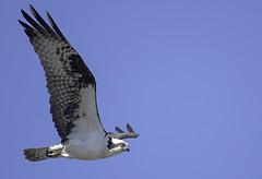 Fort Bragg Osprey (dcnelson1898) Tags: california bird animal northerncalifornia outdoors photography coast nikon highway1 pacificocean raptor hunter osprey fortbragg mackerricherstatepark mendocinocounty