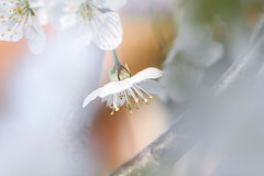 Surrounded by White (haberlea) Tags: flowers white plant tree green nature garden cherry cherryblossom mygarden