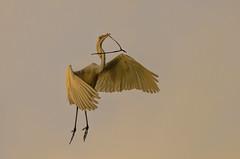 Heron Nation 06.23.2016.08 (nwalthall) Tags: sanantonio herons egrets