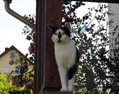 Claudia (ute_hartmann) Tags: cat claudia katze
