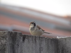 DSC04714 Pardal (familiapratta) Tags: bird nature birds brasil iso100 sony natureza pssaro aves pssaros novaodessa novaodessasp hx100v dschx100v