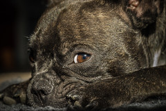 Its raining and I am so bored... (TribeChristals) Tags: dog pet eye love look animal puppy french paw bulldog indoors frenchbulldog feeling paws