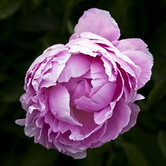 Le lendemain, elle tait souriante (Gerard Hermand) Tags: park pink white paris france flower macro fleur rose closeup canon peony parc blanc pivoine bagatelle formatcarr eos5dmarkii gerardhermand 1605211932