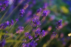 Nighttime Lavender (Wim van Bezouw) Tags: plant flower nature purple lavender nighttime