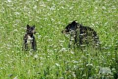 """where are you, Mom?"" (fascinationwildlife) Tags: california bear park wild summer usa black nature grass animal america mammal cub wildlife natur meadow national predator sequoia sow br schwarzbr"