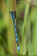 Bluet (Shadows in Reflection) Tags: michigan damselfly odonata bluet wasntenawcounty nativemichigander