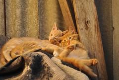 _DSC0019 (crowleyD3000) Tags: cats cat gatos felinos animales mascotas