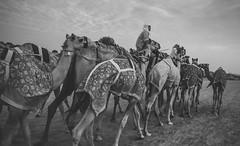 (oli murugavel) Tags: blackandwhite desert uae camel arab arabia arabian olimurugavel