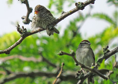 Chipping Sparrows (Kelly Preheim) Tags: sparrows chipping