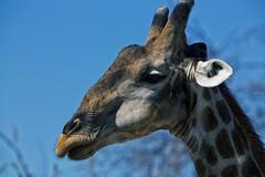 Giraffe In Profile (alisdair jones) Tags: africa park head giraffe namibia etosha ef70200mmf28lisusm2xiii