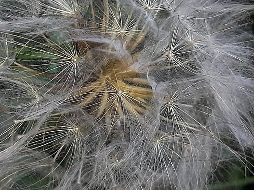 """Pusteblume • <a style=""""font-size:0.8em;"""" href=""""http://www.flickr.com/photos/69570948@N04/27884849080/"""" target=""""_blank"""">View on Flickr</a>"""