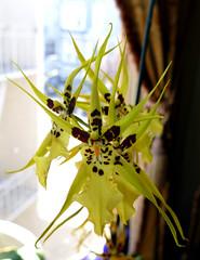 Brassidium Gilded Urchin 'Ontario' hybrid orchid 5-16 (nolehace) Tags: sanfrancisco plant ontario orchid flower spring bloom hybrid gilded urchin brassidium 516 nolehace fz1000