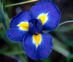 The iris:  a rainbow of colors (rainerralph) Tags: flowers iris plant garden flora outdoor blumen olympus garten irisflower stack41 omdem5markii objektiv1240pro