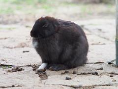 B6250504 (VANILLASKY0607) Tags: rabbit bunny bunnies nature animal japan photo wildlife wildanimal hydrangea rabbits rabbitisland wildrabbit okunoshima