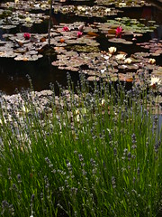 P6303709 (louisecrouch) Tags: reflection nature garden outdoors pond lilies lilypads lilypond summerflowers pondplants summergarden countrygarden waterliles lilyflowers