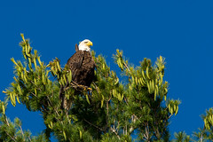 Bald Eagle - Lac du Flambeau, WI (carlos_f_guerra) Tags: lacduflambeau birds eagles bald eagle