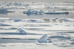 Polar Bear Family (D-Niev) Tags: norway svalbard visipix