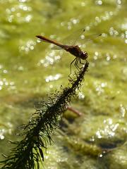 P1040255.jpg (Dave Currie) Tags: animals dragonfly insect dyrham england unitedkingdom gb