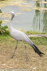 DSC_2314 (Pascal Gianoli) Tags: beauval bird oiseau zoo zooparc saintaignansurcher centrevaldeloire france fr pascal gianoli pascalgianoli