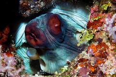 Octopus (noah.gerullis) Tags: sulawesi bunaken island resort diving underwaterinstinct indonesia underwater underwaterphotography ikelite octopus
