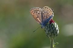 Shining butterfly (keynowski) Tags: olympusmzuikodigitaled60mmf28macro olympusomdem10 43 ngc animalplanet
