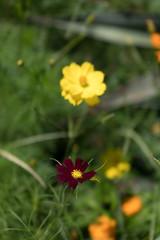 DSC02167 (Zengame) Tags: hamarikyu hamarikyugardens rx rx1 rx1r rx1rm2 rx1rmark2 sony zeiss cc cosmos creativecommons flower japan tokyo           jp