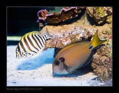 polyzona-tennentii7945_260816 (kactusficus) Tags: reef aquarium captive fauna fish coral rcifal acanthuridae acanthurus polyzona zebra surgeonfish tang chirurgien zebre