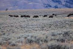IMG_0011 (GOD WEISFLOK) Tags: montana wyoming usa yellowstonepark gordweisflock weisflock