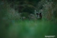 Ambiance (Vianney Vaubourg) Tags: animalier sanglier marcassin nature by nikon herbe poils vosges lorraine france d3s nikkor 400f28 400 mm f28 vr e fl vianney vaubourg photographie 2016 extrieur animal mammifre