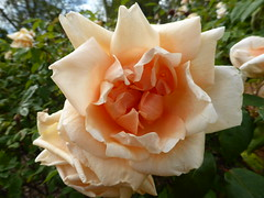 Adelaide International Rose Garden (suey_j) Tags: garden rose flora petals apricot