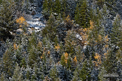 Interspersed (kevin-palmer) Tags: bighornmountains bighornnationalforest wyoming dayton highway14 nikond750 nikon180mmf28 telephoto fall autumn october snow snowfall snowy cold morning clear sunny foliage yellow gold golden pine trees