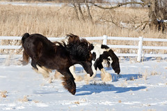 shelleypaulson_2009-193-1 (Shelley Paulson) Tags: buck bucking equine gallop gypsyvanner horse minnesota snow winter
