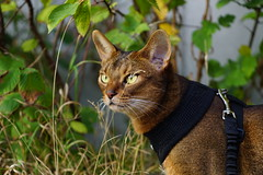 Lizzie (DizzieMizzieLizzie) Tags: abyssinian aby beautiful wonderful lizzie dizziemizzielizzie portrait siesta a7 cat chats feline gato gatto katt katze katzen kot meow mirrorless pisica sony