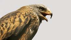 Rotmilan II (michel1276) Tags: tier animal vogel bird greifvogel rotmilan milan redkite birdofprey