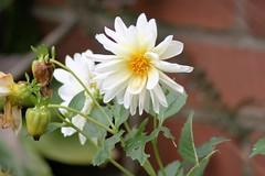 White Dhalia. (C.DeR) Tags: dhalia nature plant whiteflower