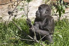 Lowland Gorilla 2016-10-14 (60D_4307) (ajhaysom) Tags: gorilla westernlowlandgorilla melbournezoo melbourne australia canoneos60d sigma120400