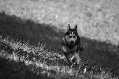 Joie (camel.arnaud) Tags: light dog chien white black nature animal forest de gris husky noir minolta lumire sony beercan af siberian alpha foret blanc f4 slt 65 70210 a65 sibrie expressif epressive charactre