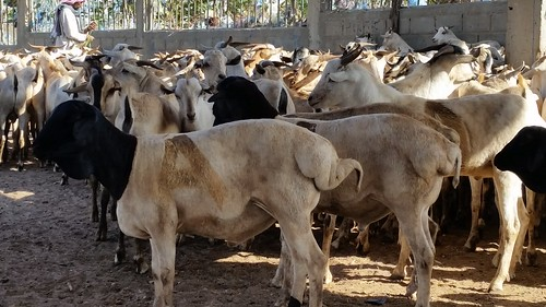 Hargeisa livestock market – fat-tailed sheep selected for export