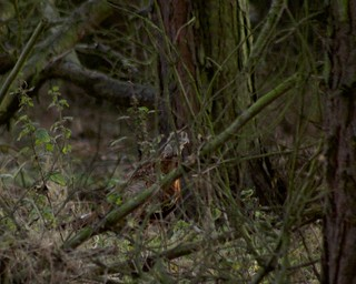 Pheasant in the woods.