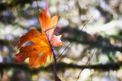 beleaf (ecstaticist - evanleeson.com) Tags: autumn orange canada fall colors yellow leaf bokeh valley cowichan