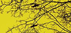 Illusive animals - Swans.. (Henrik Bidstrup Jrgensen) Tags: winter denmark vinter flight olympus swans monocrome svaner e510 flugt flyver illusive sangsvaner illusiveanimals