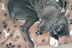 They are best friends (Fallen Oak Photography) Tags: blue dog love animals cat puppy nose photography oak kitten gray adorable kitty fluffy pitbull fallen kc bluenose capone aniamls fallenoak fallenoakphotography