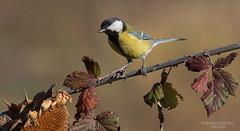 Cinciallegra (franco 1961) Tags: bird birds uccelli parusmajor avifauna uccello passeracei