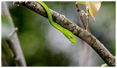 oriental whipsnake (Gopan) Tags: park asian singapore snake vine tokina oriental pasir ris gardensnake whipsnake gopakumar prasina gopan ahaetulla 150600mm nikond7000